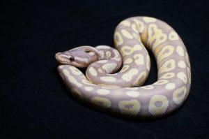 ball python morph