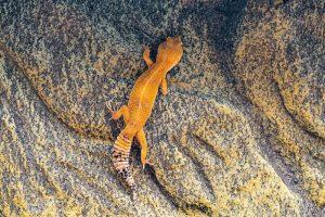 gecko morph climbing