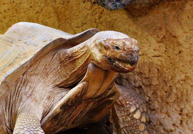 adult tortoise