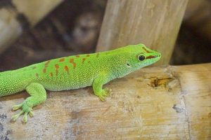 day gecko pet