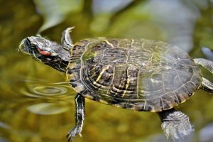 red eared slider swimming