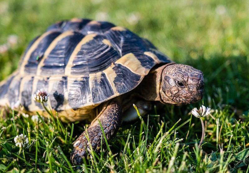 greek tortoise outside