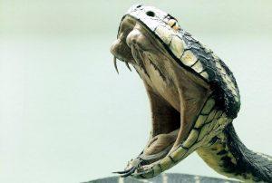 venomous snake's fangs