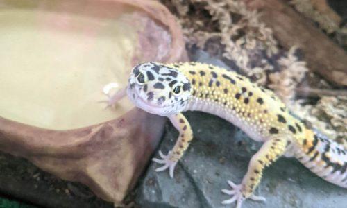 Tamale the Gecko
